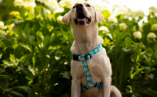 Shop Dog Harnesses by Yellow Dog Design.