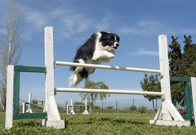 train your dog for agility competitions