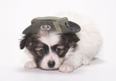 papillon with a hat