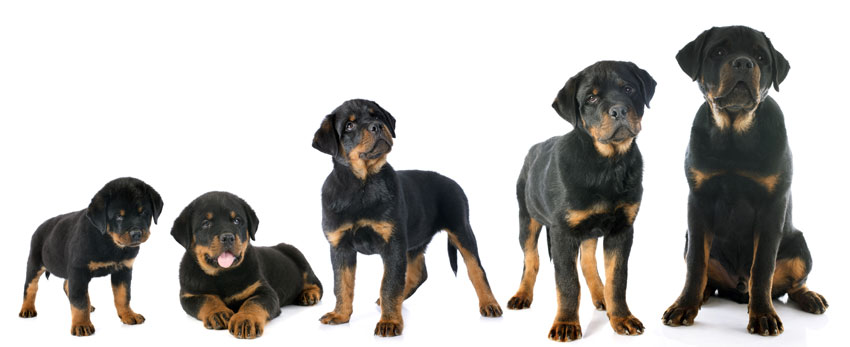 rottweilerhusky dog facts